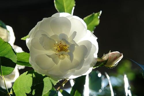 Rosas brancas para banho de limpeza astral em crianças