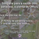 Simpatia para a saúde com panaceia, a planta de Omulú